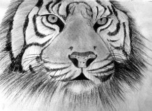 Bengal Tiger 004