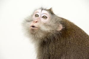 Philippine Macaque 001